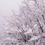 GalleryCo-SnowyBushes
