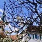 ZendoWettingen-Pfarrhausblüten